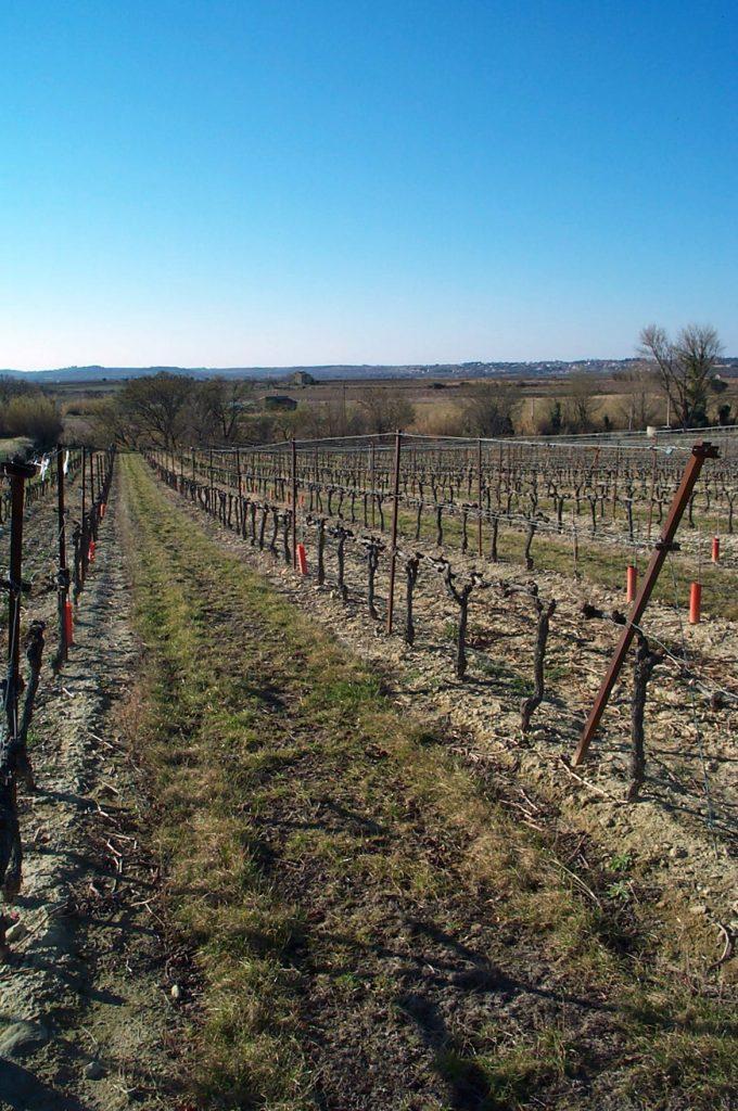 Une parcelle de vigne du bassin versant de Roujan de l'observatoire OMERE